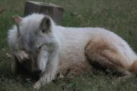 gallery_crying-wolf