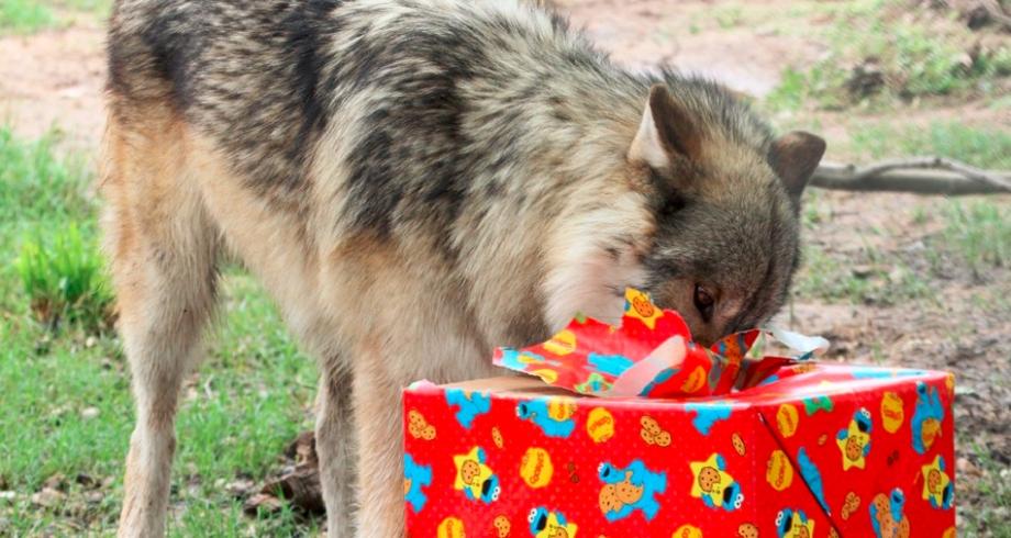 Wolfdog Rajah opens his birthday present